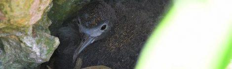 小笠原探鳥記(8)~南島の海鳥のひなたち、ミナミハンドウイルカ