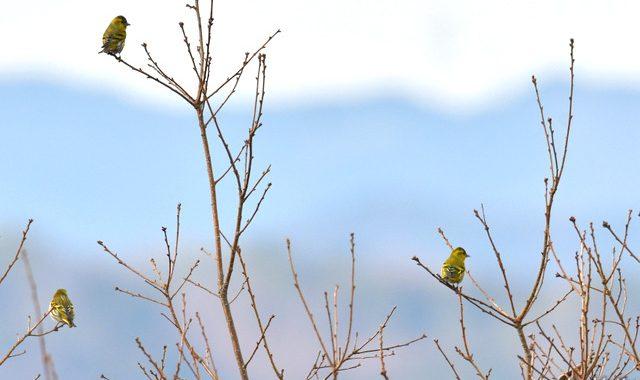 大子町の森~マヒワ、ウソ、アトリ