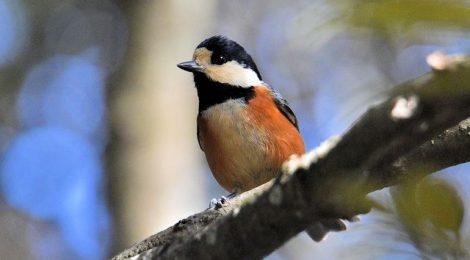 突然増えた冬の小鳥~アオジ、ルリビタキ、キクイタダキ