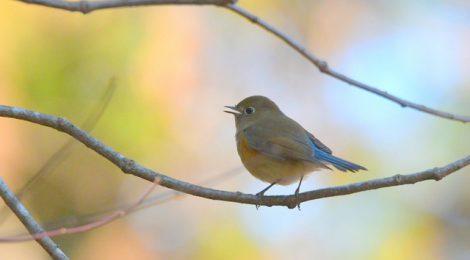 公園の小鳥たち~ビンズイ、ルリビタキ、キクイタダキ