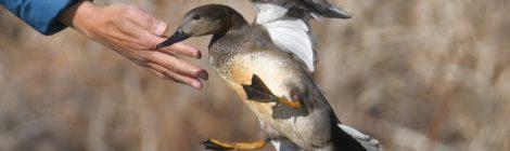 蓮田の防鳥ネットからオカヨシガモ救助