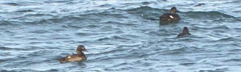 大洗のビロードキンクロ、ウミスズメ