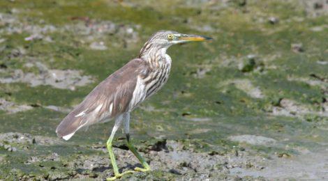 秋のタイ旅行記(1)Thai birding 塩田のシギチ