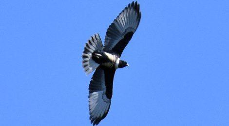 秋のタイ旅行記(2)Thai birding 鷹の渡りフェスティバル
