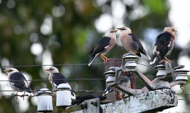 秋のタイ旅行記(3)Thai birding 色々なムクドリたち