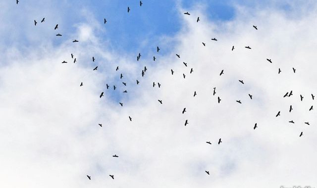 秋のタイ旅行記(4)Thai birding クロカッコウハヤブサの大群