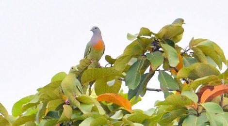 秋のタイ旅行記(5)Thai birding コアオバトなど