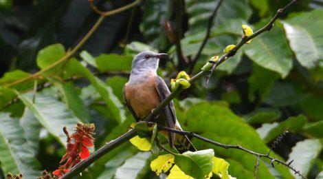 秋のタイ旅行記(6)Thai birding ヒメカッコウ、小鳥たち