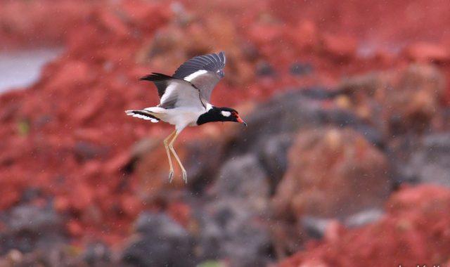 秋のタイ旅行記(7)Thai birding 水辺の鳥たち