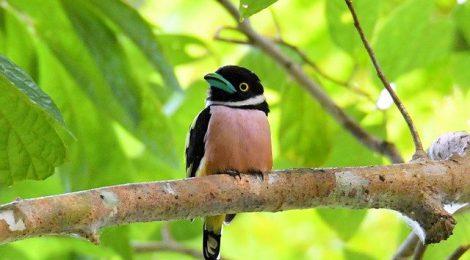 秋のタイ旅行記(9・了)Thai birding クビワヒロハシ