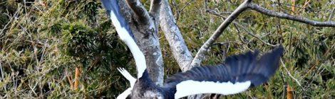 樹上で身繕いをするオオワシ
