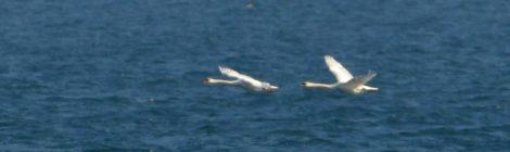 海の鳥たち~渡るコブハクチョウ、ウミスズメなど
