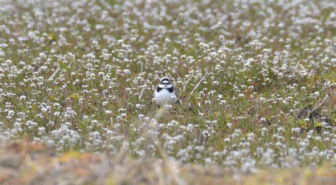 春の田んぼのコチドリ