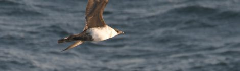 3月の大洗-苫小牧航路(4)トウゾクカモメ