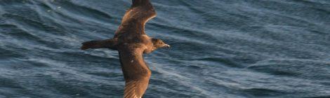 3月の大洗-苫小牧航路(5)トウゾクカモメ暗色型