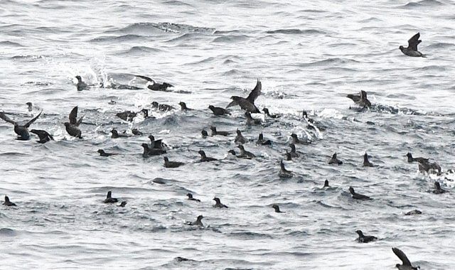 3月の大洗-苫小牧航路(1)初見のエトロフウミスズメ