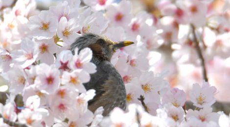 桜咲く公園散歩