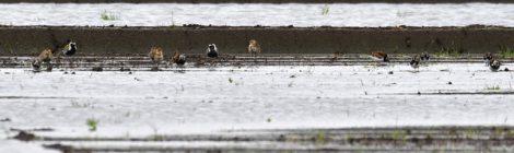 水田のキョウジョシギとムナグロ