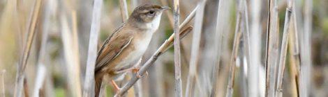 小見川の草原の鳥たち~オオセッカ、コジュリンなど