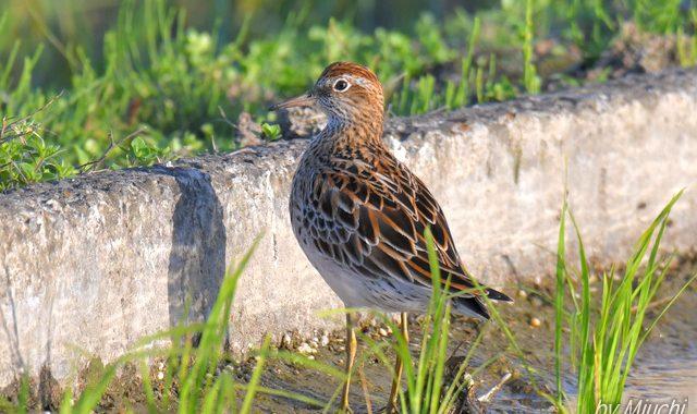 涸沼のウズラシギ3羽