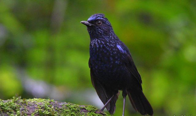 スマトラ探鳥記 Birding in Sumatra(3)スマトラルリチョウ