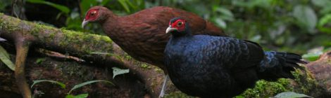 スマトラ探鳥記 Birding in Sumatra(4)クロウチワキジ