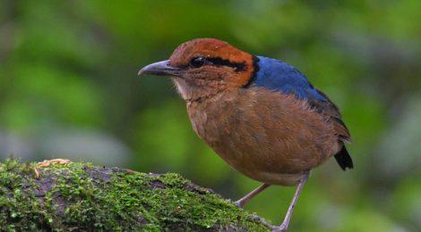 スマトラ探鳥記 Birding in Sumatra(2)キタスマトラヤイロチョウ