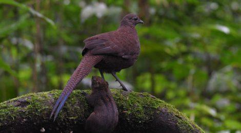 スマトラ探鳥記 Birding in Sumatra(5)アオオビコクジャク