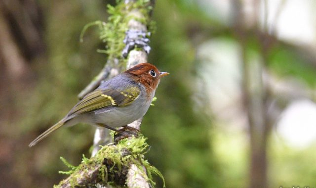 スマトラ探鳥記 Birding in Sumatra(7)スンダモリムシクイ