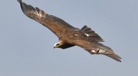 スマトラ探鳥記 Birding in Sumatra(9)カザノワシ、クリイロヒメカッコウ