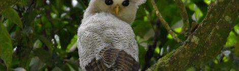 スマトラ探鳥記 Birding in Sumatra(10)マレーワシミミズク