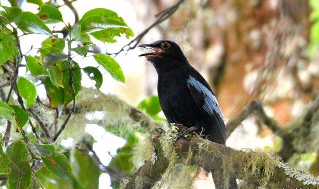 スマトラ探鳥記 Birding in Sumatra(11)スマトラミヤマツグミ