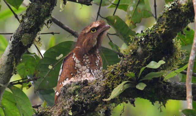 スマトラ探鳥記 Birding in Sumatra(12)スマトラガマグチヨタカ