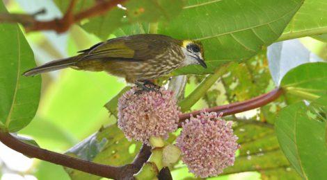 スマトラ探鳥記 Birding in Sumatra(13)ヒヨドリ・コレクション