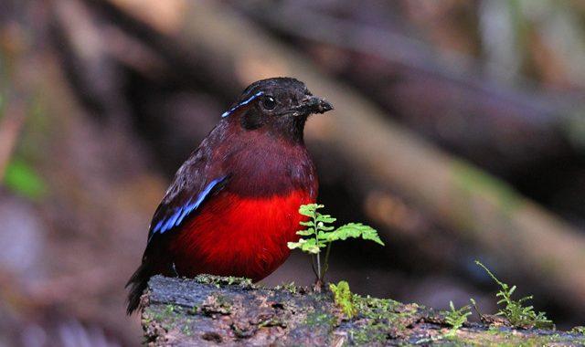 スマトラ探鳥記 Birding in Sumatra(14)スマトラヤイロチョウ
