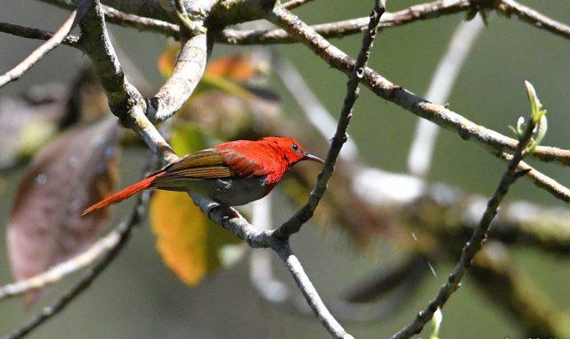 スマトラ探鳥記 Birding in Sumatra(16)ミヤマタイヨウチョウ