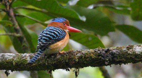 スマトラ探鳥記 Birding in Sumatra(15)カザリショウビン、キヌバネドリ類