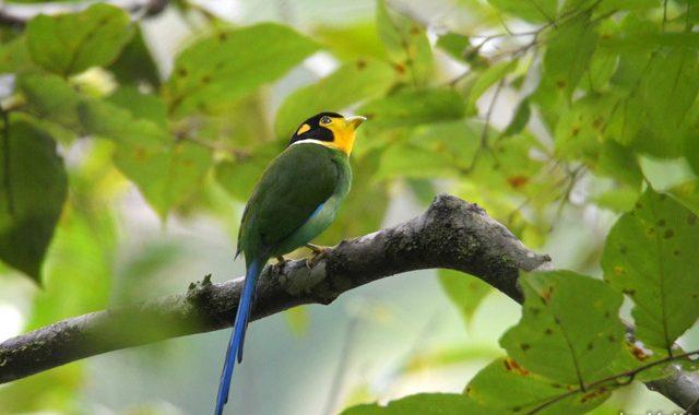 スマトラ探鳥記 Birding in Sumatra(18)オナガヒロハシ