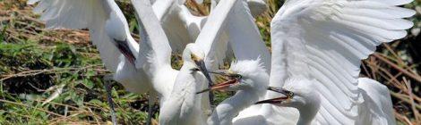県南のサギコロニーの観察(2)親鳥の奮闘
