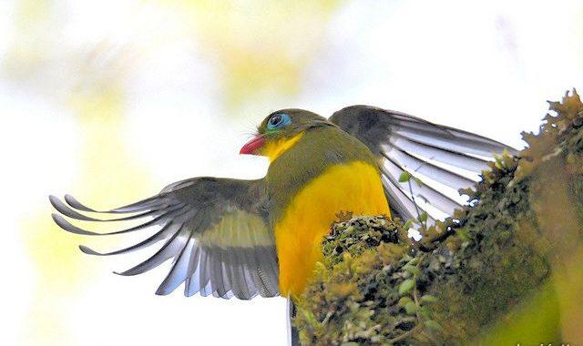 スマトラ探鳥記 Birding in Sumatra(6)スマトラキヌバネドリ