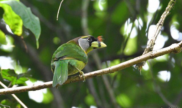 スマトラ探鳥記 Birding in Sumatra(17)アカフサゴシキドリ