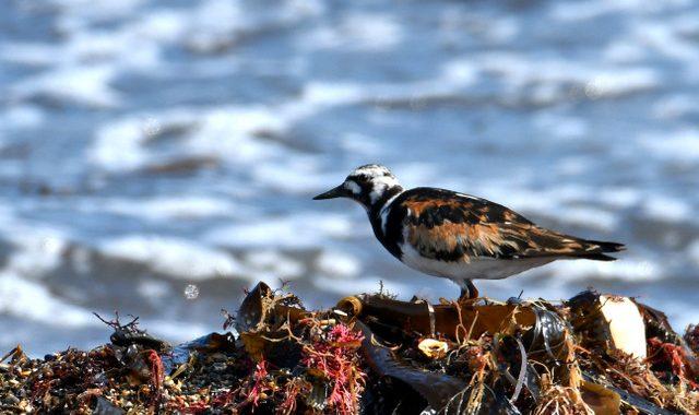 海藻と岩場のキョウジョシギたち
