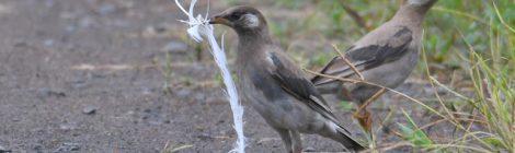サギの羽根で遊ぶムクドリ