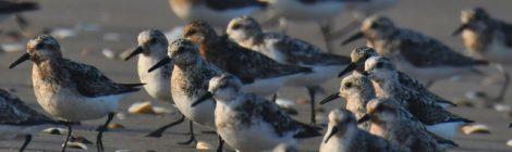 鹿島灘のミユビシギたち