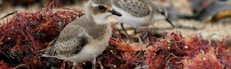 メダイチドリ、トウネン、キアシシギの幼鳥たち