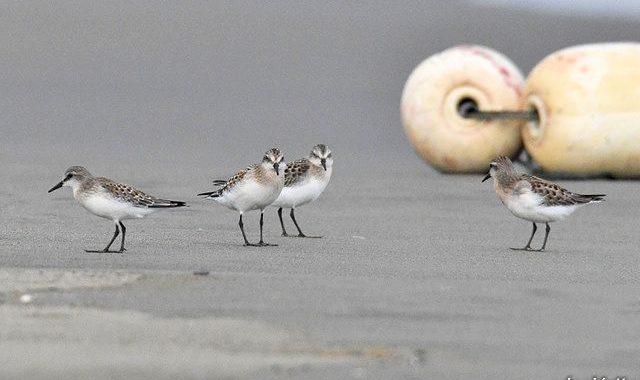 浜辺のトウネン4羽