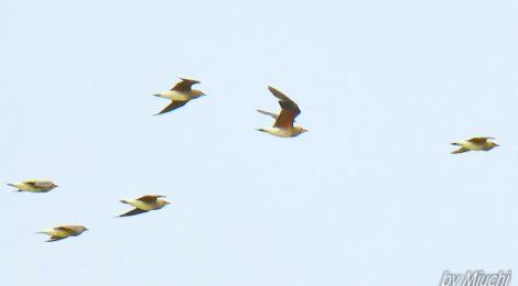 ツバメチドリ22羽の群れ