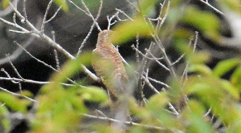 秋の訪れ~モズの高鳴き、ツツドリ、ミサゴ
