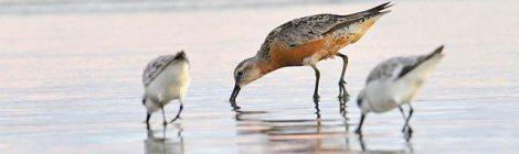 台風後の海辺(3)~赤いコオバシギ