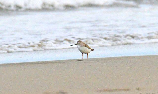 海辺の小さな仲間たち~ソリハシシギ、メダイチドリ